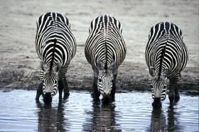 Roaming Stripes: Zebras in the Wild