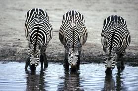 Roaming Stripes: Zebras in the Wild